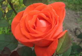 Jump-Start Your Spring Roses